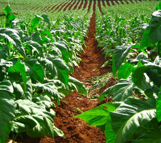 chemicals used in production of tobacco leaves